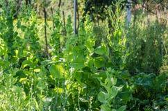 Arugula, μαρούλι, φύλλο, κήπος, χρώμα, τρόφιμα, φύλλα, πράσινα, ο Μπους, καρύκευμα, μαγείρεμα Στοκ Φωτογραφίες