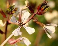 Arugula-Blume Lizenzfreies Stockfoto