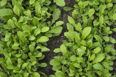 Arugula, der im Garten wächst lizenzfreie stockbilder