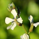 Arugula Flower. Close-up of white Arugula flowers stock photos