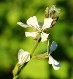 Arugula Flower. Close-up of white Arugula flowers stock photo