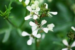 Free Arugula Flower. Eruca Lativa Plant. Rucola Blossom. Farmland Arugula. Rocket Salad. Food Spice And Herbs. Spring Garden In Stock Photography - 94407082
