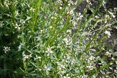 Arugula flower. Eruca sativa plant. Flowering and seed formation. Rucola blossom. Organic farmland Rocket salad in outdoor ground. stock photo