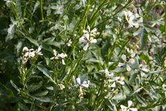 Arugula flower. Eruca sativa plant. Flowering and seed formation. Rucola blossom. Organic farmland Rocket salad in outdoor ground. stock photos