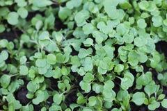 Arugula. Green small young arugula sprouts Royalty Free Stock Photography