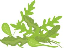 Arugula Greens Royalty Free Stock Image