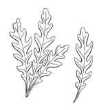 Arugula herb graphic art black white sketch isolated illustration Stock Photo
