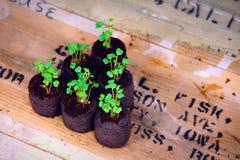 Arugula keimt in den Sämlingsstartern auf Holzkiste (sechs Draufsicht) Stockfoto