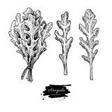 Arugula liścia ilustraci ręka rysujący wektorowy set Odosobniony warzywo grawerujący stylowy przedmiot Szczegółowy jarski jedzeni Obraz Stock