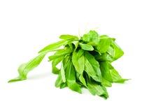 Arugula plant Royalty Free Stock Image