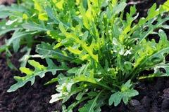 Free Arugula Plant Growing In Organic Vegetable Garden. Royalty Free Stock Image - 95330046
