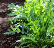 Arugula plant growing in organic vegetable garden. Arugula plant growing from soil in organic vegetable garden royalty free stock images