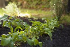 Arugula plant growing from soil Stock Photography