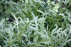 Arugula plant grows in an organic garden. Close-up. Arugula plant growing in organic vegetable garden royalty free stock photography