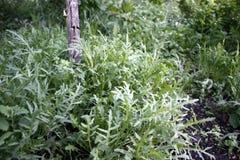 Arugula plant grows in an organic garden. Close-up. Arugula plant growing in organic vegetable garden stock photo