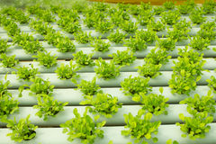 Arugula Plants growing in Hydroponic culture Stock Image