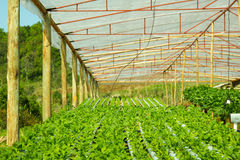 Arugula Plants growing in Hydroponic culture Royalty Free Stock Images