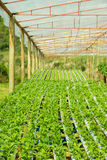Arugula Plants growing in Hydroponic culture Royalty Free Stock Photos