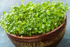 Arugula sprouts in a bowl Stock Photos