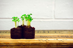 Arugula sprouts in seedling starters with white brick wall (three horizontal wide) Royalty Free Stock Photos