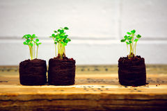 Arugula sprouts in seedling starters with white brick wall (two plus one horizontal) Stock Photography