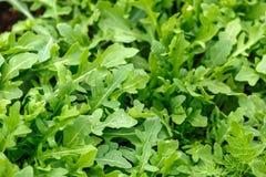 Arugula, wild rocket growing in organic vegetable garden.  stock photos