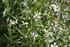 Arugulabloem Eruca sativa installatie Het bloeien en zaadvorming Rucolabloesem De organische salade van de landbouwgrondraket in  stock foto's