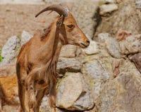 Arui-Schafe im Zoo Stockbild