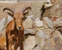 Arui sheep in zoo. In Europe Royalty Free Stock Photo