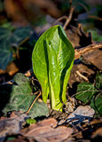 Arum alpinum. Rays of the sun awoke to life first leaves Stock Photography
