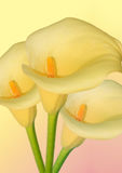 Arum flower Royalty Free Stock Image