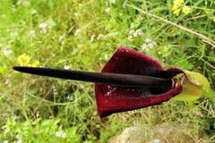 Arum flower. Stock Images