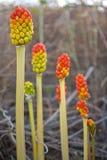 Arum italicum fruits Stock Photo