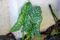 Arum italicum, Italian snakeshead, Italian Lords-and-ladies Stock Photos