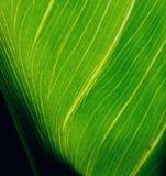 Arum leaf. Sunlight through a leaf Royalty Free Stock Photos