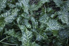 Arum leaves in springtime Royalty Free Stock Images