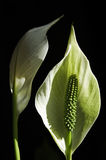 Arum Lilies. Closeup of two arum lilies, isolated on a black background Stock Photos