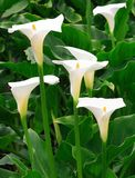 Arum Lilies Royalty Free Stock Images