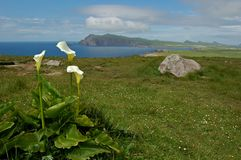 Arum lilies view Ireland. Picture with a view on Sybil Head on the peninsula Dingle in Ireland with white Arum lilies growing in the meadow Royalty Free Stock Image