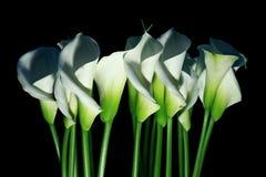 Arum lilies (Zantedeschia aethiopica) a.k.a. calla Royalty Free Stock Image