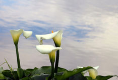 Arum Lilies (Zantedeschia) Royalty Free Stock Photography