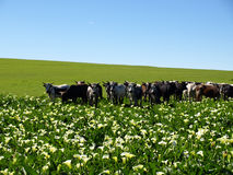 Arum Lillie field with Nguni cattle. A Field of wild arm lillies with Nguni cattle grazing Stock Photo