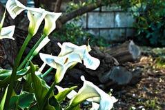Arum lillies Στοκ φωτογραφίες με δικαίωμα ελεύθερης χρήσης
