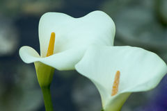 Arum lillies,cala. Two flowers cala,  on a dark background Royalty Free Stock Photos