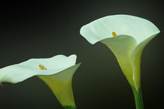 Arum lillies, cala. Two flowers cala,  on a dark background Royalty Free Stock Images