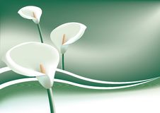 Arum Lillys. Illustration of Arum Lillys on a green Background Stock Image