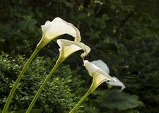Arum Lily. Stock Photo