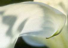Arum lily Stock Images