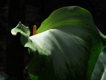 Arum lily solo Royalty Free Stock Photo