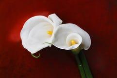 Arum lily Stock Image